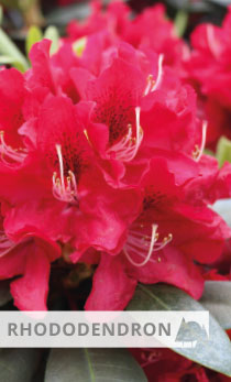 Rhododendron Karl Name